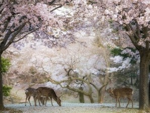 2021 Small Group 14 Day Japanese Culture & Cherry Blossom Delights