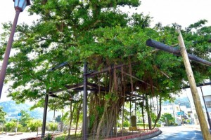 Hinpun Banyan Tree in Nago